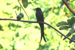 Black-Drongo-copy-compressed