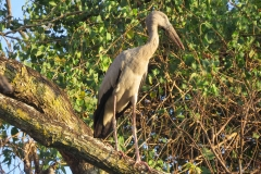Openbill-Stork-compressed